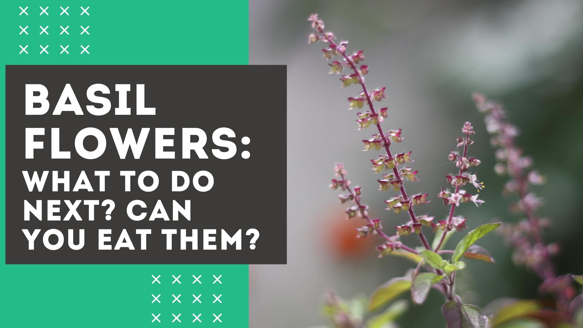 Basil Flowers: Remove Them? [& Can You Still Eat the Leaves?]