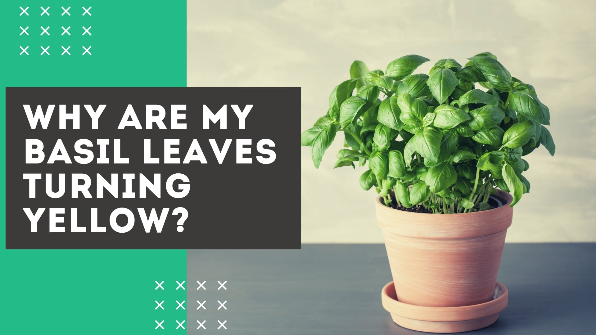Basil Leaves Turning Yellow? 9 Common Causes [+ Fixes]