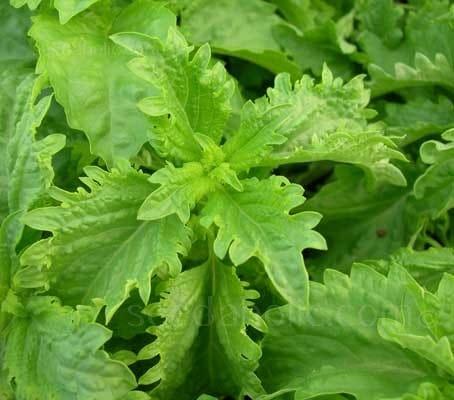 green ruffles basil