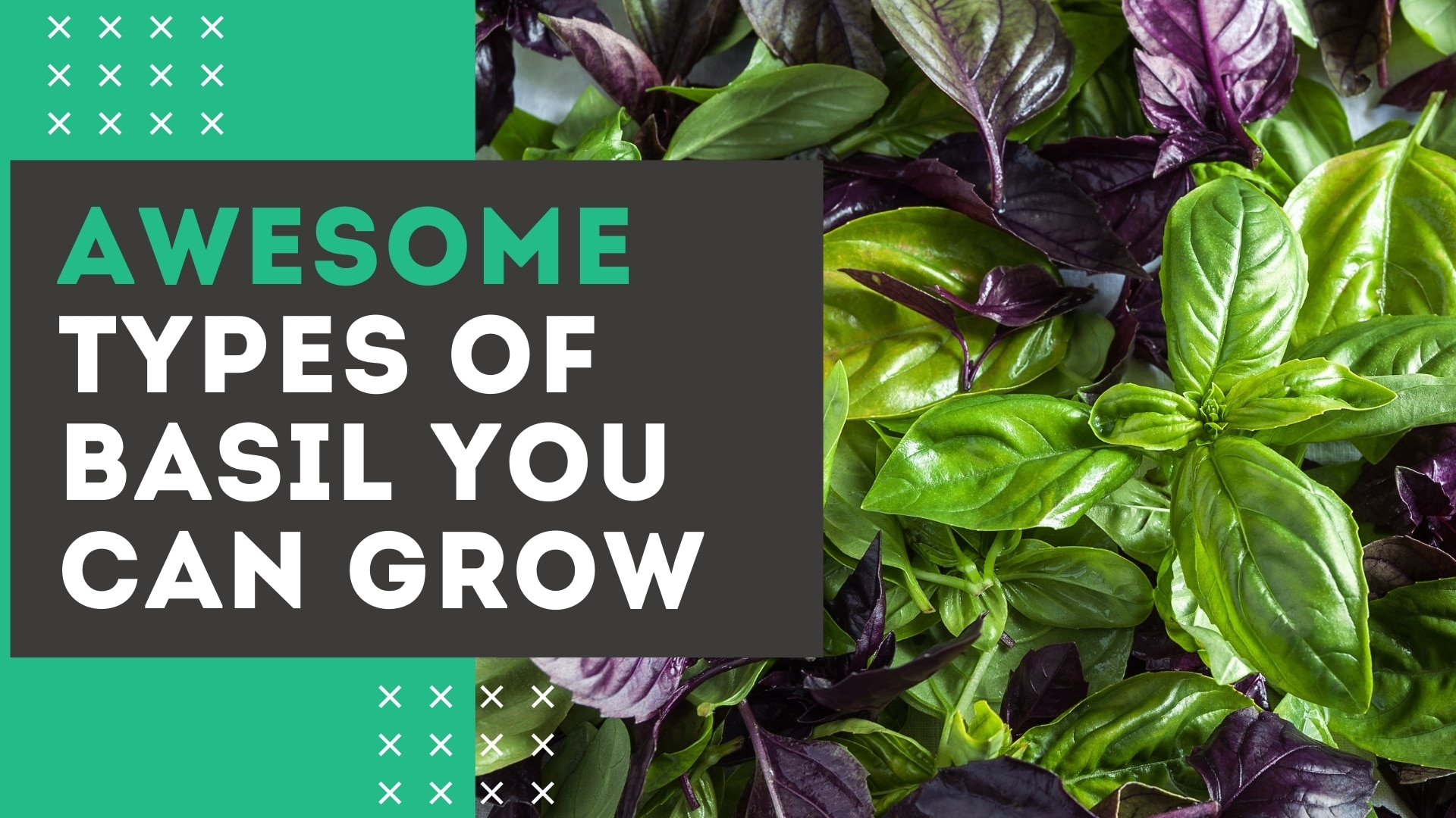 16 Types of Basil YOU Can Grow [+ Health Benefits & Uses]