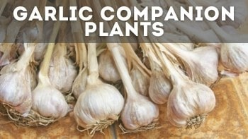 15+ Garlic Companion Plants [& What NOT to Plant With It]