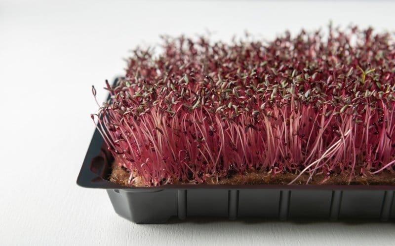 amaranth microgreens