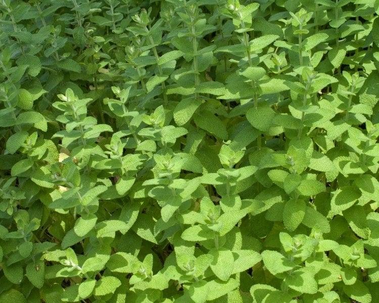 apple mint flowers