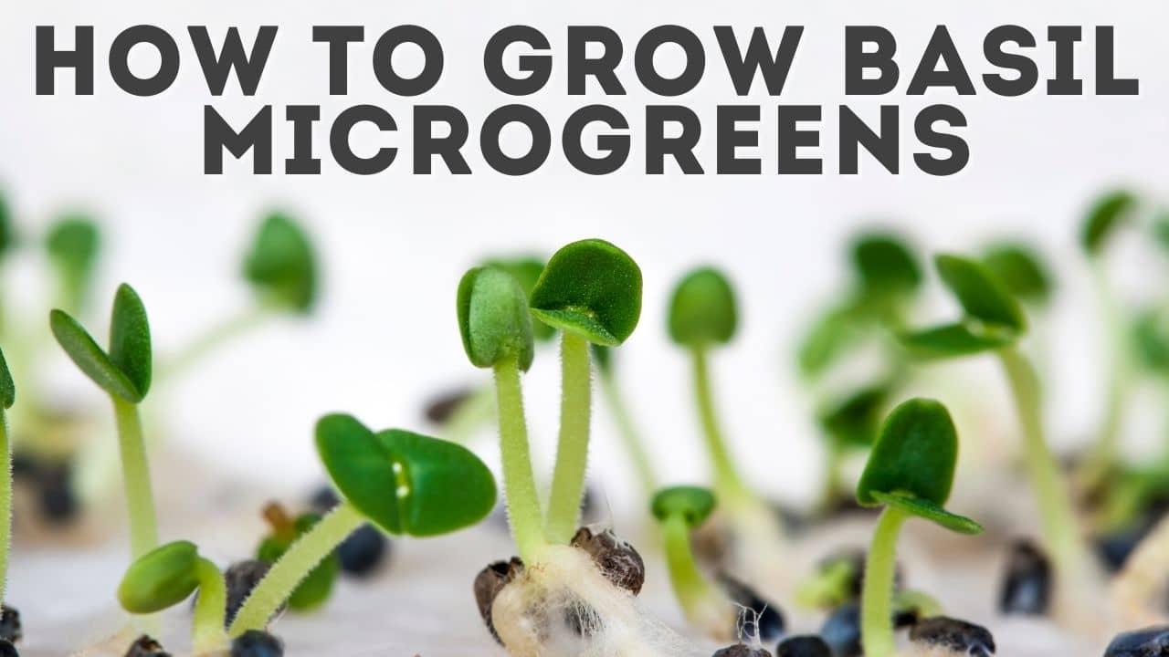 Basil Microgreens: How to Grow Micro Basil [& Storage Tips]
