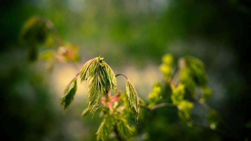 wilting basil leaves