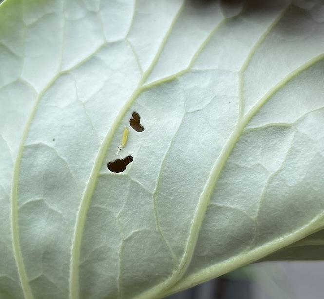 cabbage looper