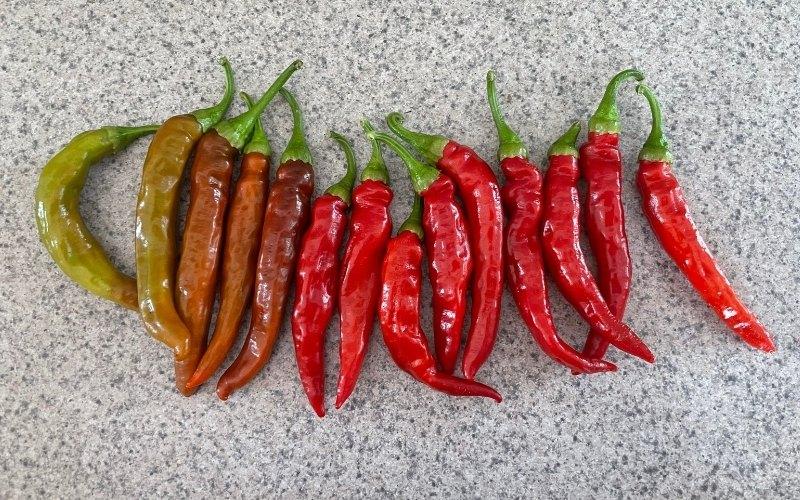 cayenne pepper ripening