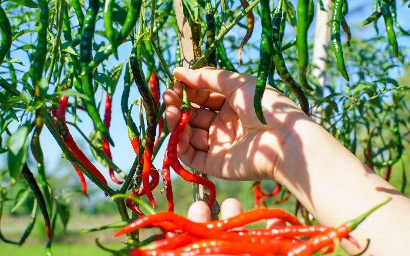 cayenne pepper plant