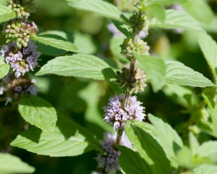 wild mint flowers pudina