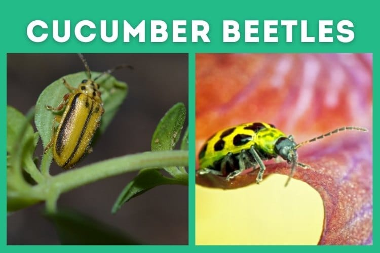 cucumber beetles tomatillos