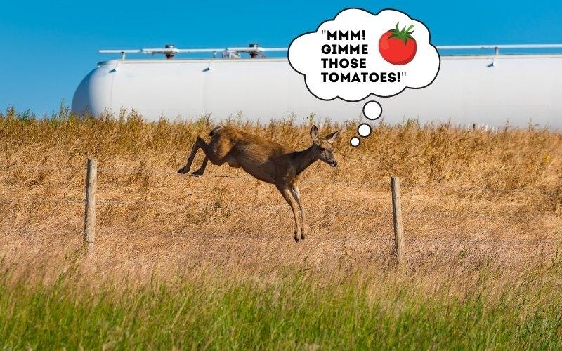 deer eating tomatoes