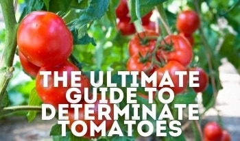 Which Tomatoes are Determinate? Detailed A-Z List of Determinate Types