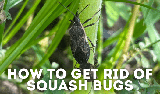 Squash Bugs: Little Red Eggs & How to Get Rid of Them