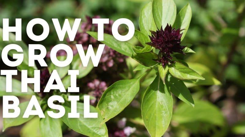 how to grow thai basil