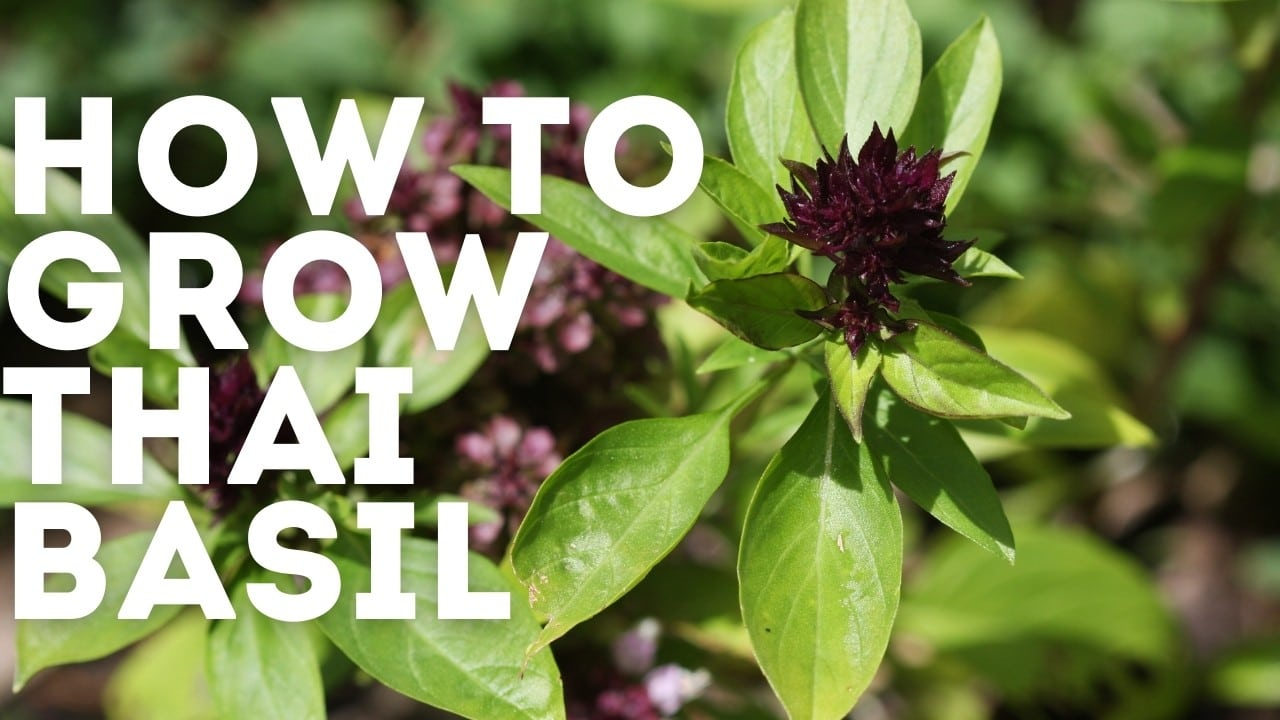 How to Grow Thai Basil & Problems To Watch Out For