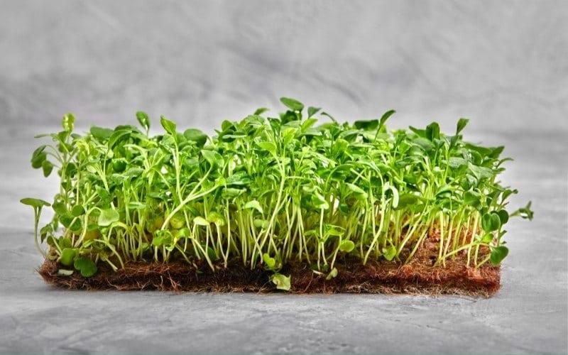 hemp mat microgreens