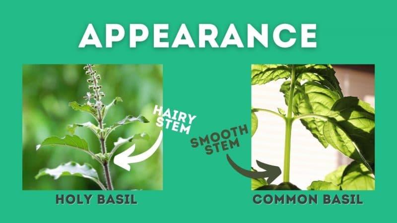 holy basil vs basil stems