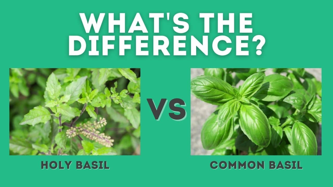 Holy Basil vs Basil: What's the Difference?