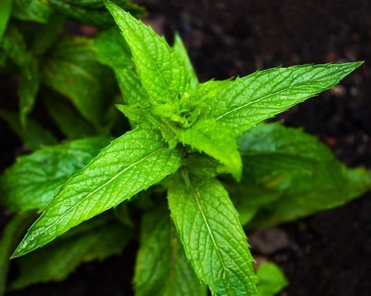horsemint leaves