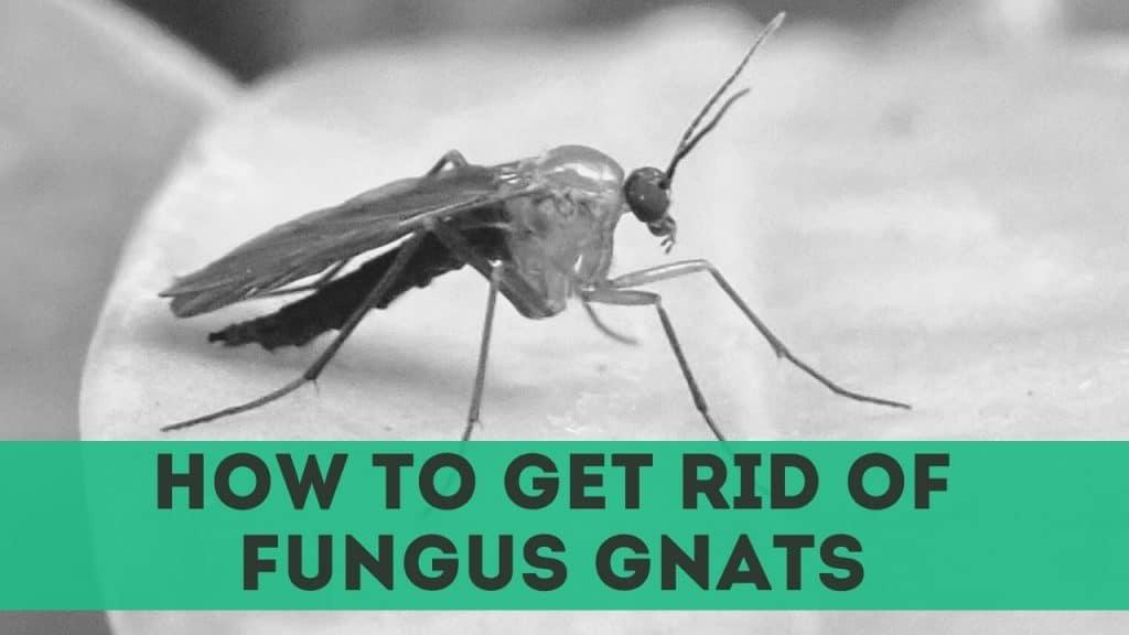get rid of fungus gnats