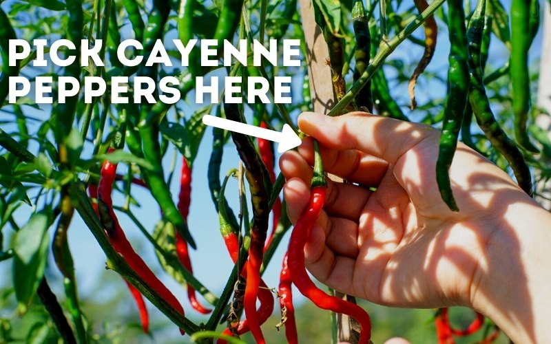 how to pick cayenne peppers