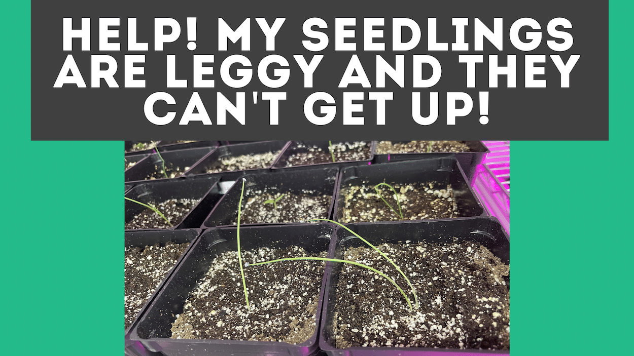 Leggy Seedlings [What They Look Like & How To Fix Them]