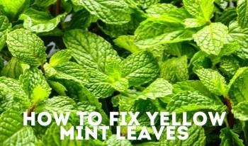 Mint Leaves Turning Yellow? Here's Why & How to Save Your Plant