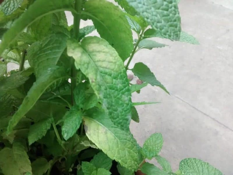 overwatered mint plant