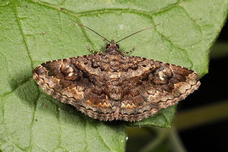 owlet moth on leaf