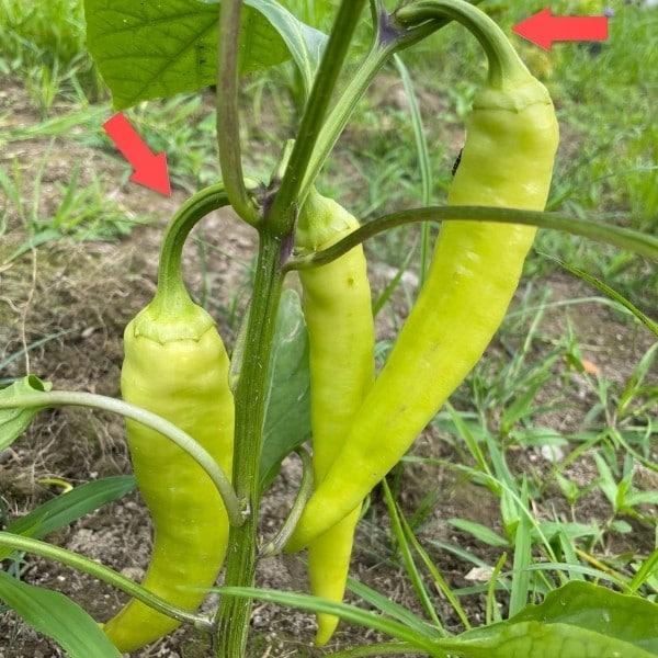 pick banana peppers