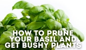 Pruning Basil: When to Start Pruning & How to NOT Kill the Plant