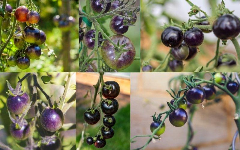 purple tomato varieties
