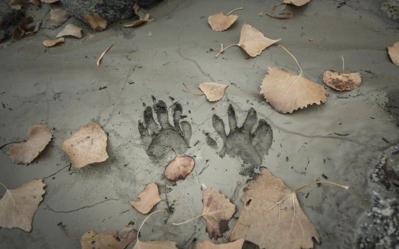 raccoon prints