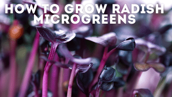 Radish Microgreens: The Best Types & How to Grow Them