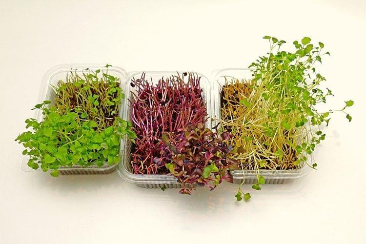 regrowing microgreens