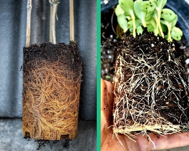rootbound plants