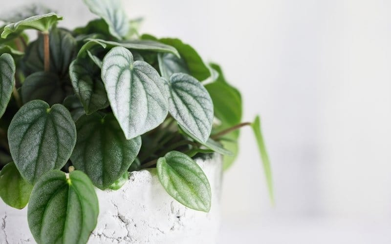 silver frost peperomia