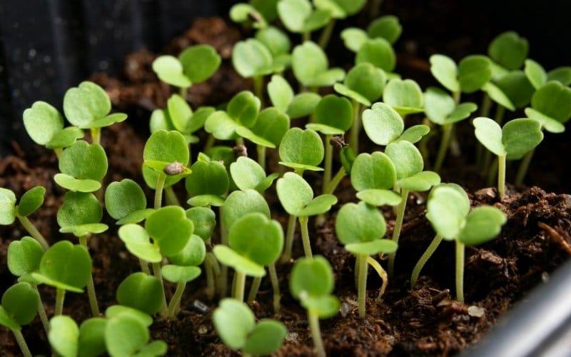 micro spinach