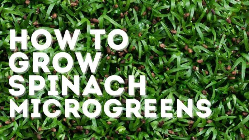spinach microgreens