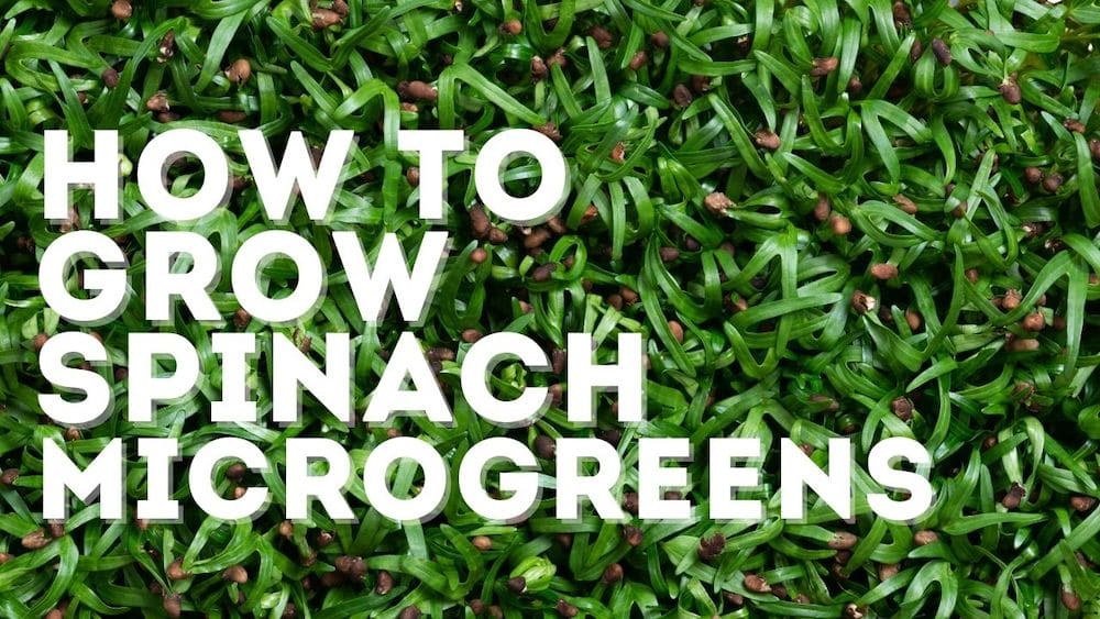 Spinach Microgreens: The EASY Way to Grow Them [& Storage Tips]