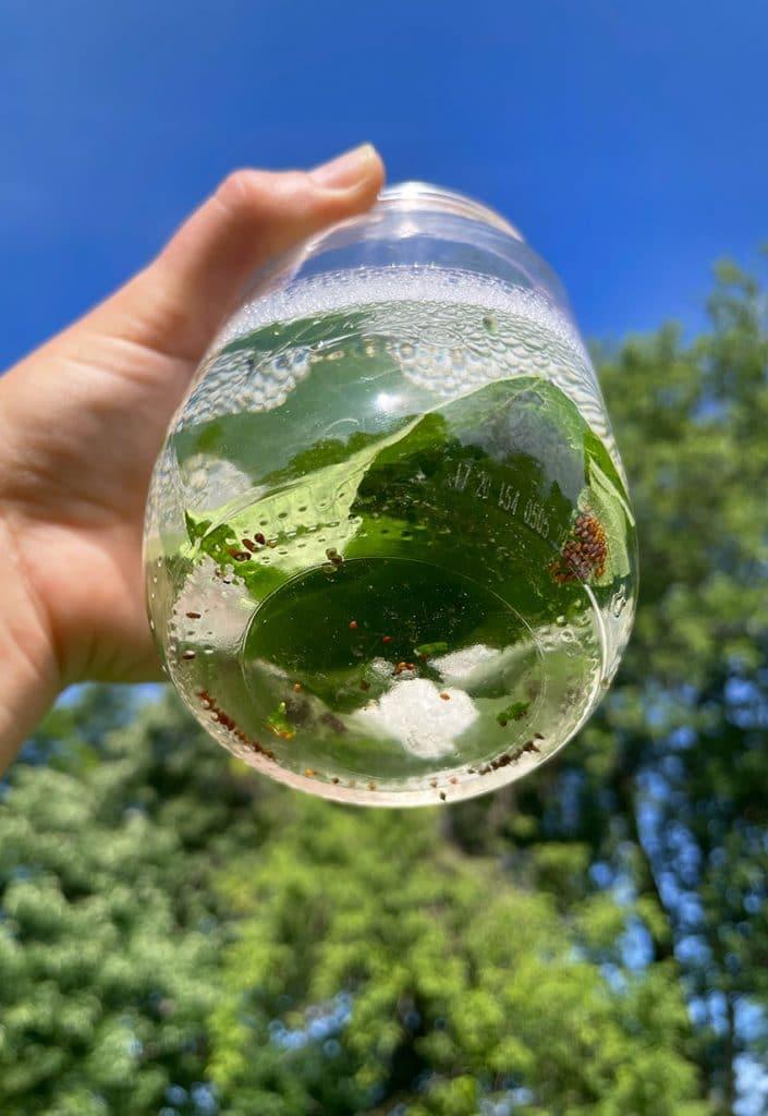 squash bugs soapy water jar