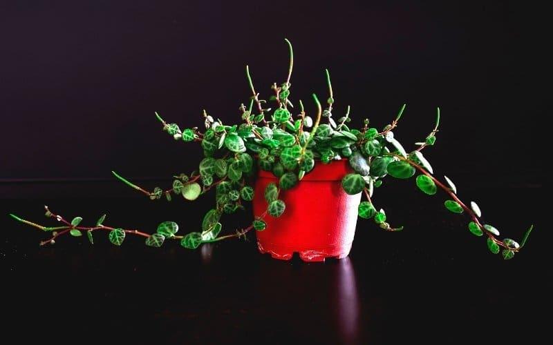 string of turtles plant