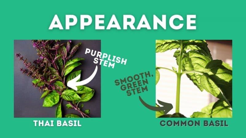 thai basil vs basil