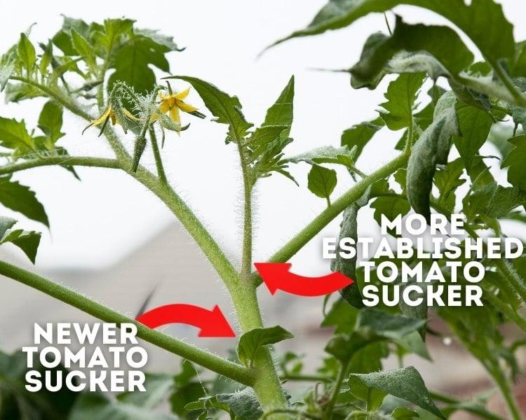 tomato suckers
