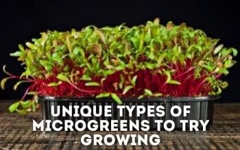 types of microgreens