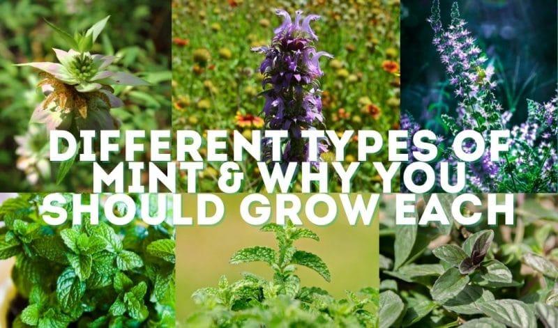 mint varieties