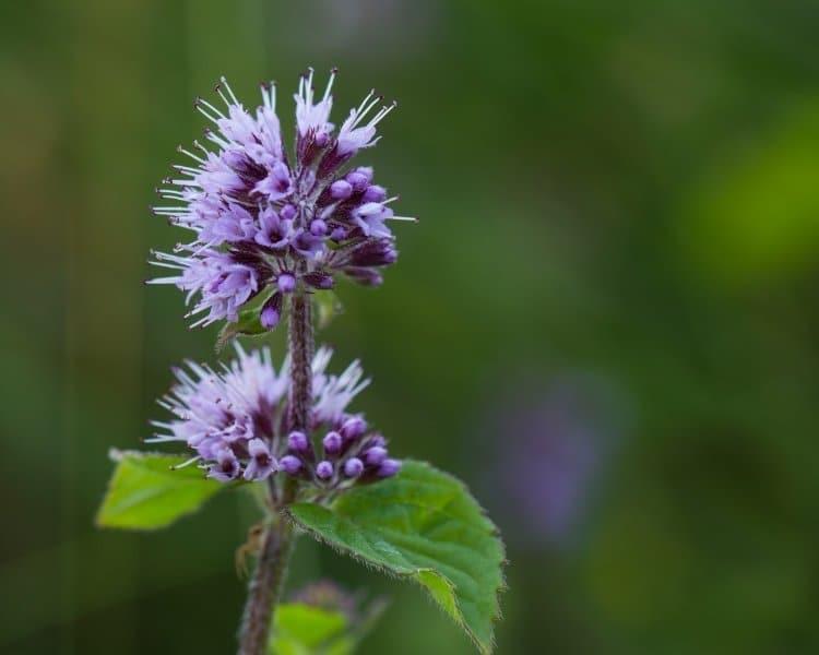 watermint flowers