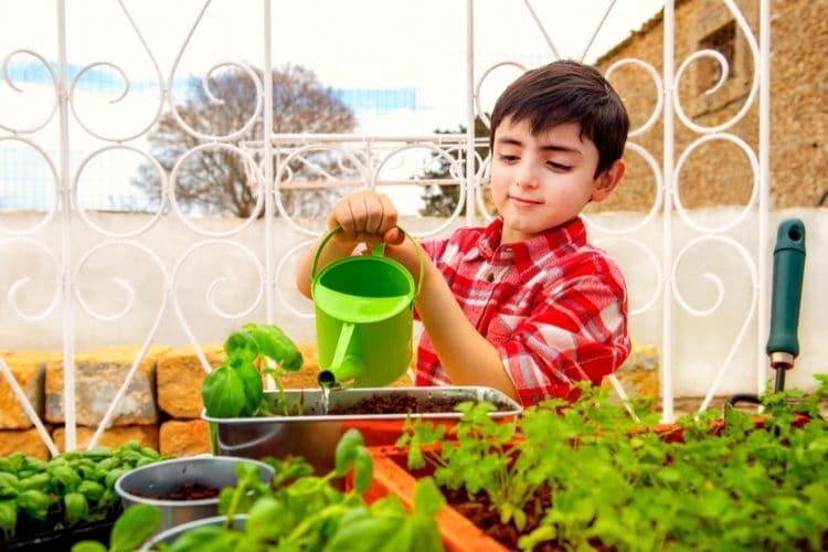 watering basil outside