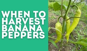 When to Pick Banana Peppers & Why to Harvest Them Before They're Ripe!
