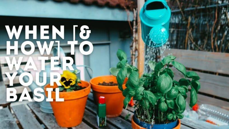 watering basil plants